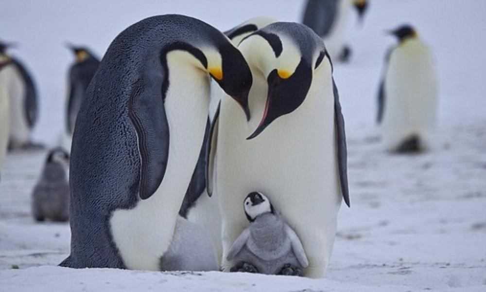 Πιγκουινος - Ο επαγγελματιας της νηστειας